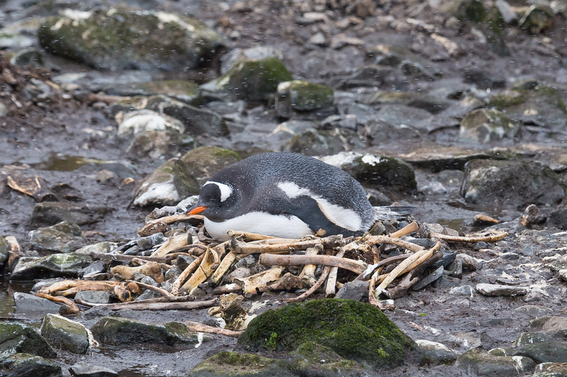 Gentoo penguin on  nest