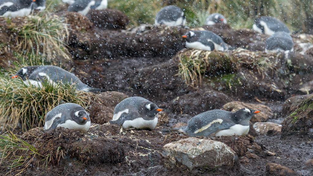 Gentoo penguins on nests