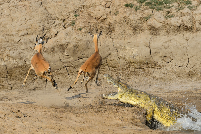Crocodile and impalas