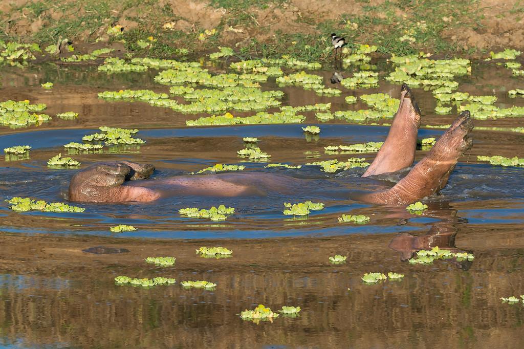 Rolling hippopotamus