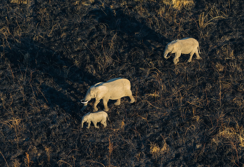 Elephants at dawn from microlight