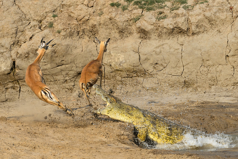 Crocodile and impalas. Nature's Best Photography Africa prize winner, 2015