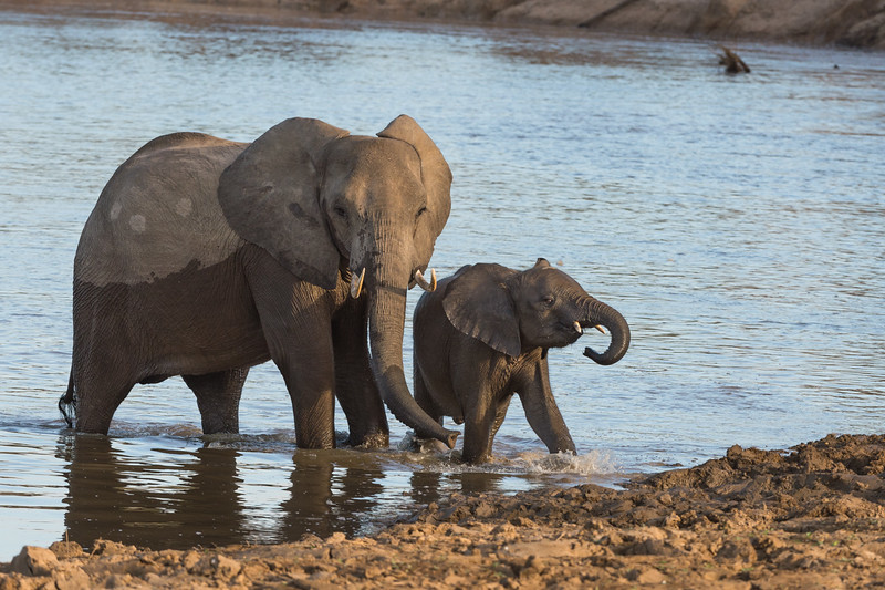 Elephants crossing Luangwa river