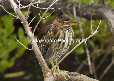 Around a small water hole on one the Galapagos islands, a Lava Heron peers from his post.