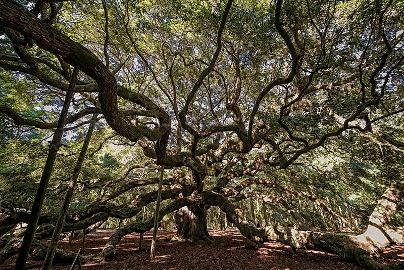 Angel Oak tree in Savannah, GA.  One of the oldest live oaks known.