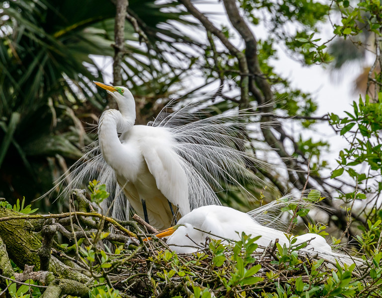 Alligator Farm - Egrets Minding Nest-0300