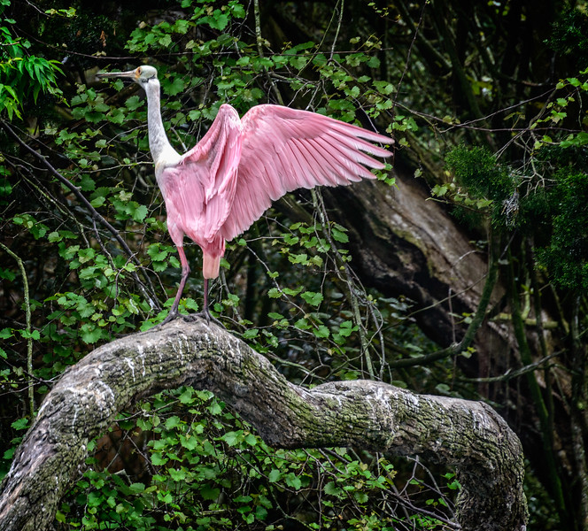 Alligator Farm - Pink Egret-0370