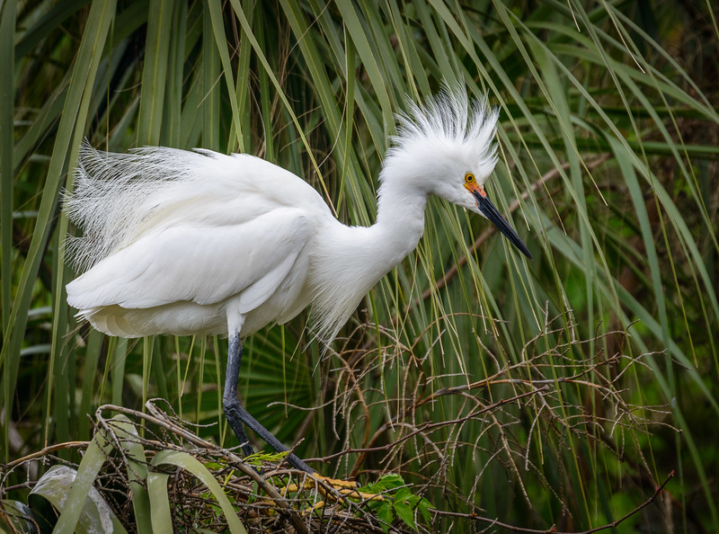 Alligator Farm - Snowy Egret-0378