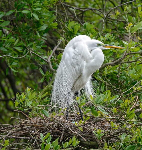 Alligator Farm - Egret Nesting-0398
