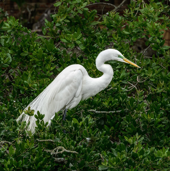 Alligator Farm - Egret with Green Eyes-0358