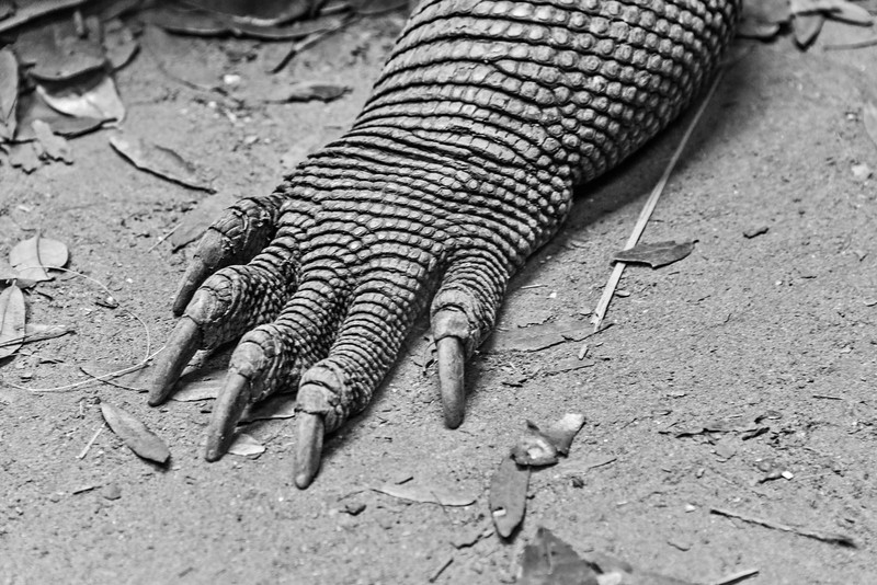 Alligator Farm - Komodo Dragon Foot-0411