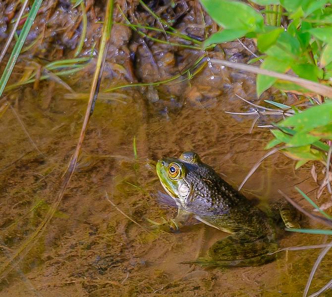 Blue Ridge Parkway - Woodberry Inn - Frog in Lake-0238