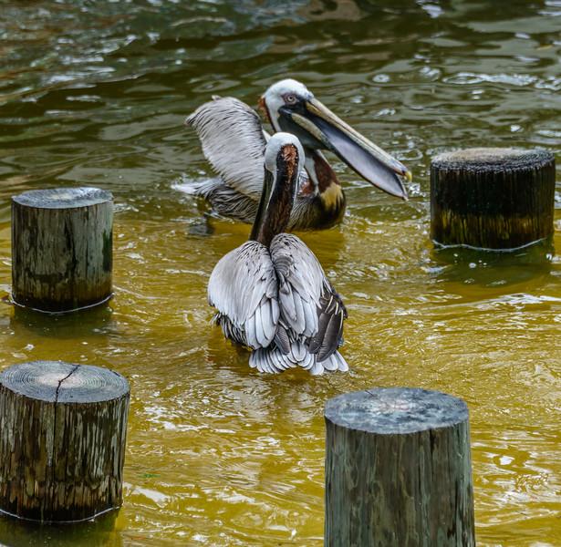 Wildlife Center - Pelicans 2-0082