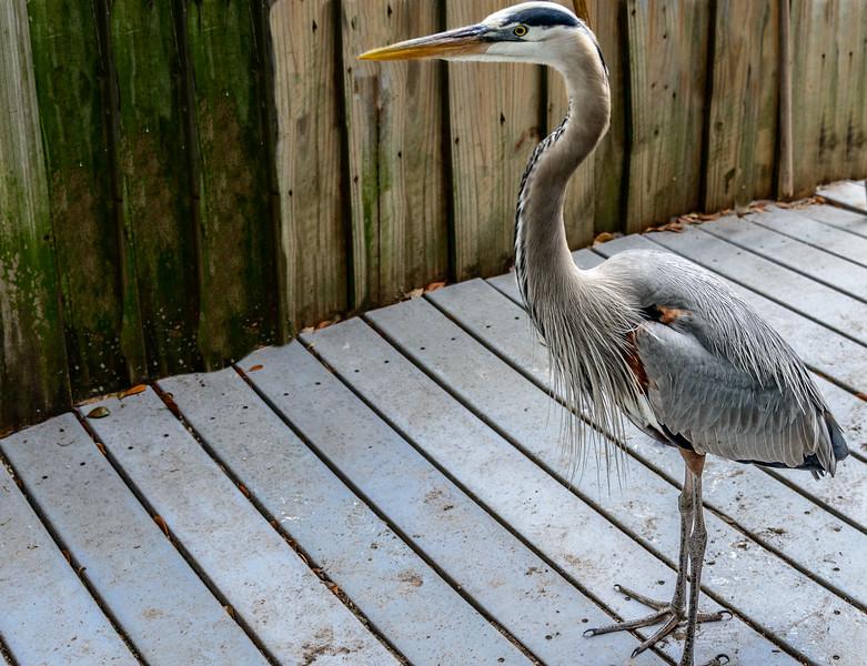 Wildlife Center - Egret on Boardwalk-0069