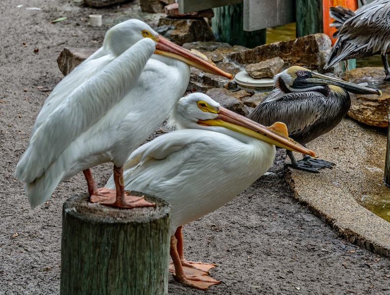 Wildlife Center - Pelicans-0080