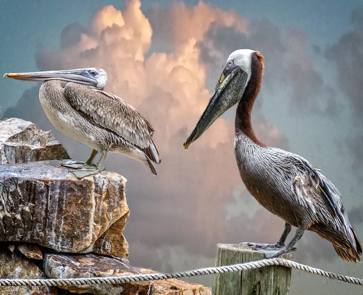 Wildlife Center - Pelicans-0102