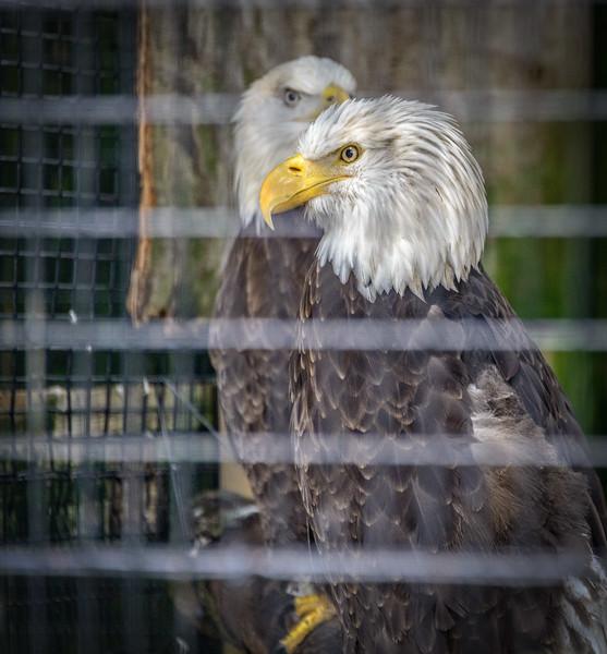 Wildlife Center - Bald Eagles-0073