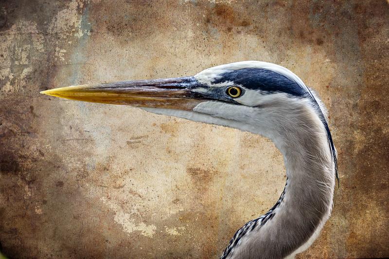 Wildlife Center - Egret Closeup-0071