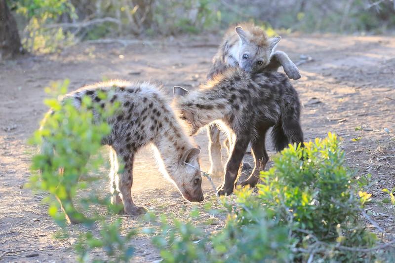 Hyena_Phinda_2016_0018