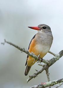 Grey Hooded Kingfisher