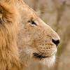 Lion profile....