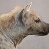 Alert Hyena...