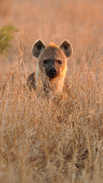 Hyena in the morning light