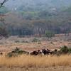 wildebeest-herd-1