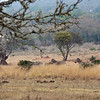 zebras-wildebeest-3