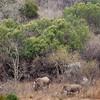leshiba-rhinos-2-2