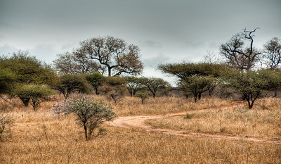 The African bush driving through the white lion preserve to camp unicorn.