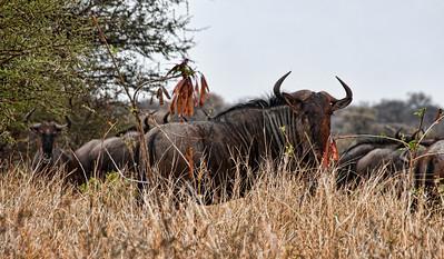 african-wildebeest-2