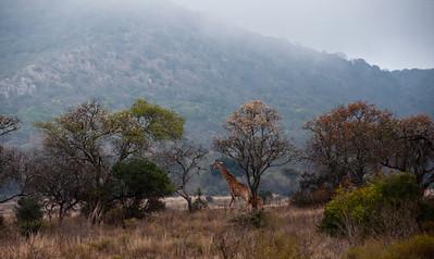african-giraffe-1