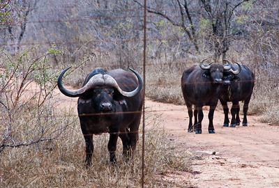 These buffalo look like they're penned in, but they're not.  They roam wild inside hundreds of acres of nature.