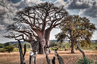 skulls-baobab-tree-2