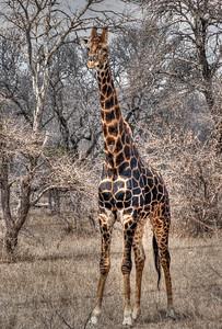 wild-giraffe-1