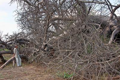 baobab-tree-man-3