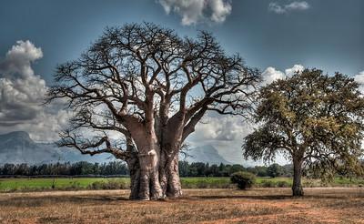 baobab-tree-1