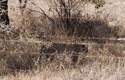 wild-cheetah-2
