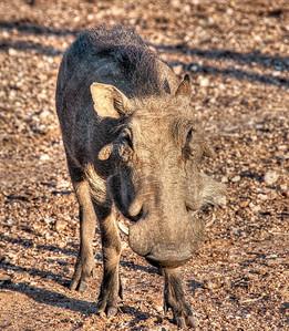 lone-warthog-1