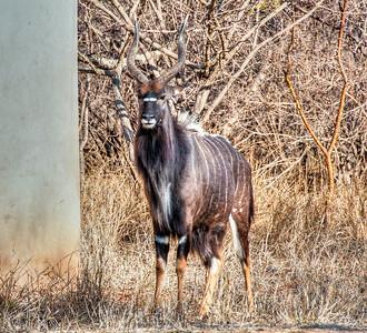 wild-kudu-antelope-1