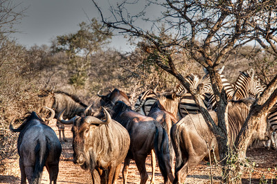 wildebeest-zebras-1