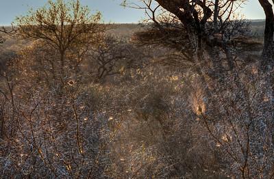 african-thornbush-2
