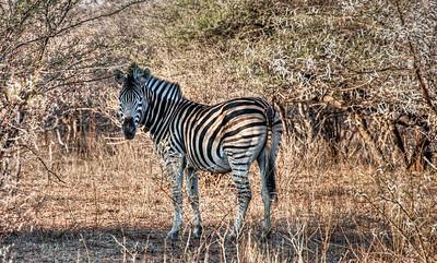 african-zebra-bush-1