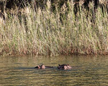 blyde-river-hippos-1