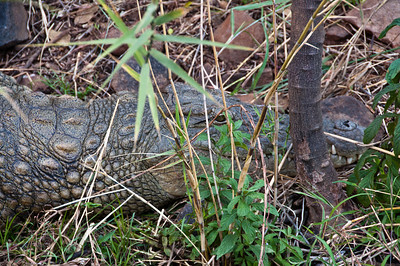 river-crocodile-3-1