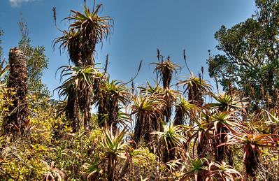 aloe-plants-1