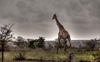 tall-giraffe-1