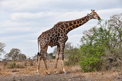 giraffe-eating-1