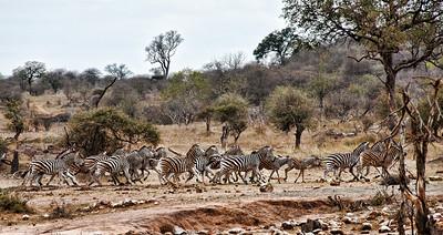 running-zebras-3